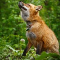 Save a Fox Rescue
